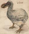 Le dodo ou dronte de l'Ile Maurice, symbole des espèces disparues à cause de l'homme.